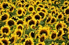 Field of Gold Sunflowers Greeting Card Thank You Note